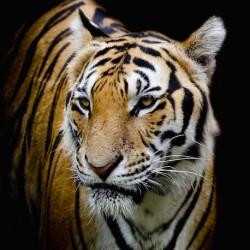 Carré Velours « Tigre »