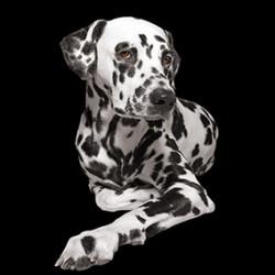 Carré velours «Dalmatien» fond noir