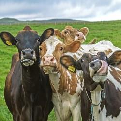 Carré velours 3 vaches