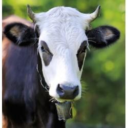 Carré velours Vache