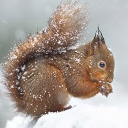 Carré velours 16 Ecureuil dans la neige