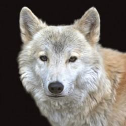 Carré velours 4 Loup