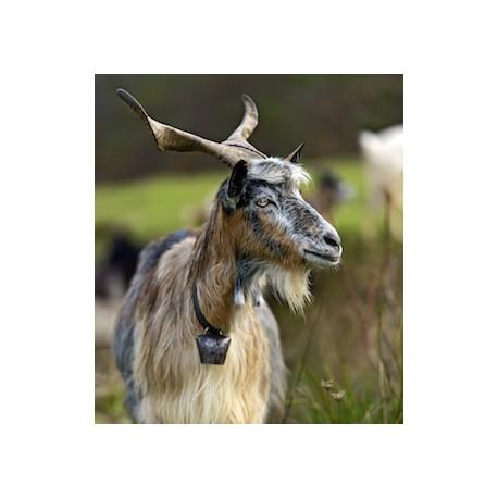 Carré velours Chèvre